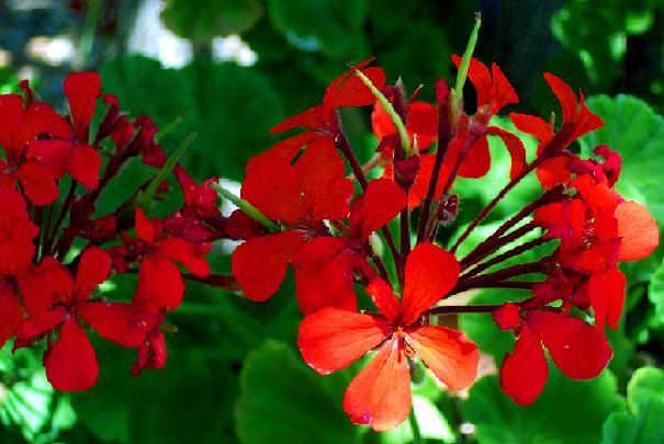geranium_fleuri_et_vert