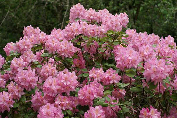 avoir_rhododendron_bien_fleuri