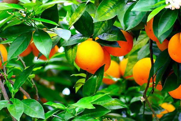 faire_repousser_un_oranger_apres_hiver
