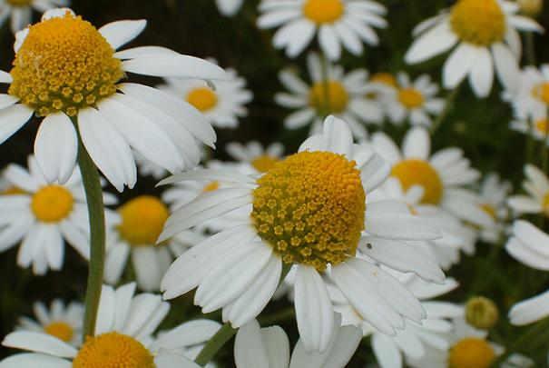 vertue_plante_aromathique_fleurie