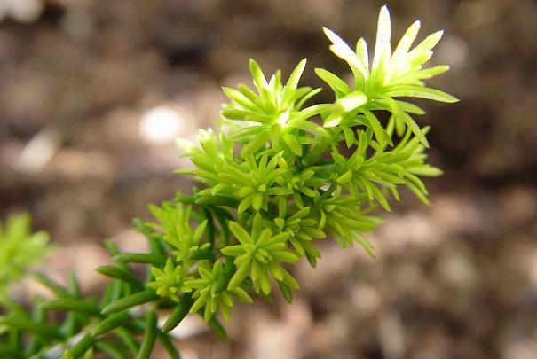 plantes_medicinales_pour_confort_urinaire