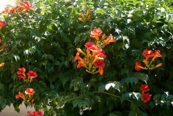 Un jardin qui sent bon le caf gr ce la bignone - Plante grimpante feuillage persistant ...