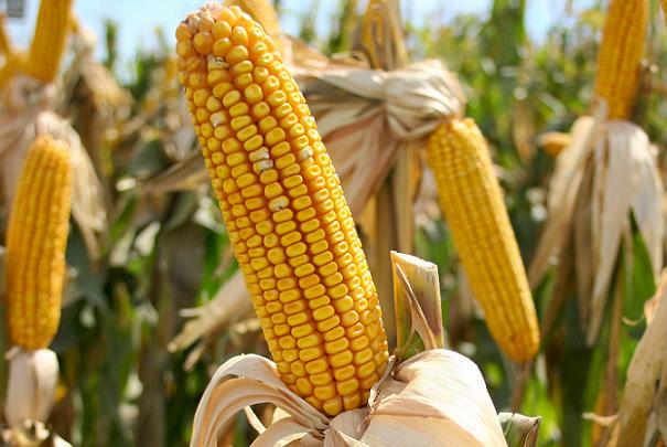 Les aliments pouvant contenir des OGM