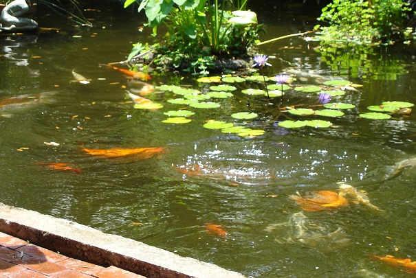 Comment installer des poissons dans un bassin for Bassin plastique poisson
