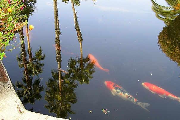 Quels poissons faire vivre dans un bassin for Plante bassin exterieur