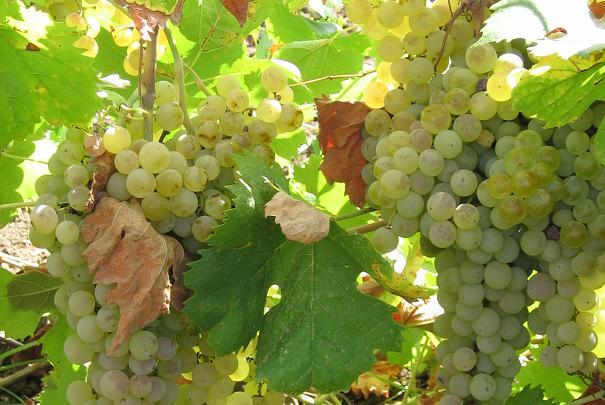 aoc_vins_gros_plant_vignobles_pays_nantais