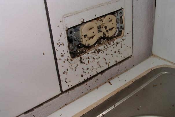 Eliminer les colonies de fourmis